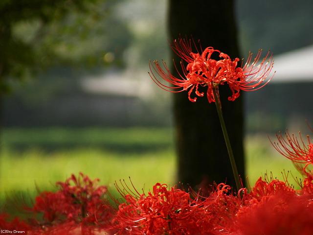 曼珠华沙的花语是什么?