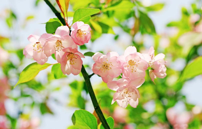 海棠花的种植方法和注意事项
