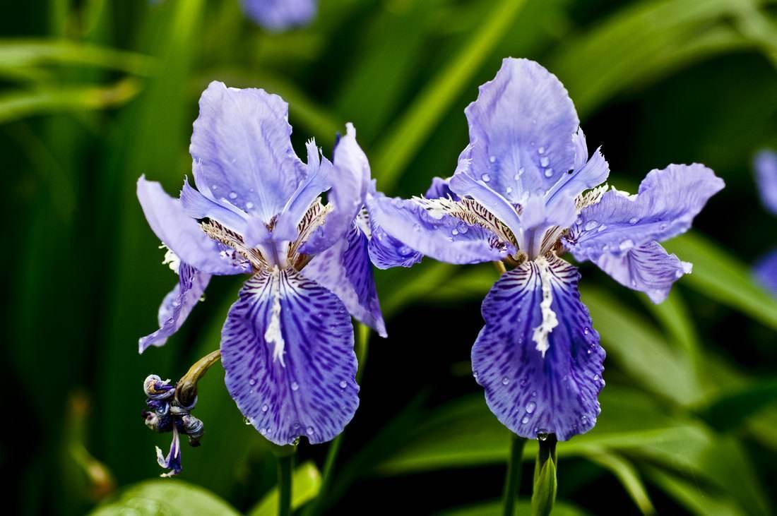 鸢尾花的种植方法和注意事项