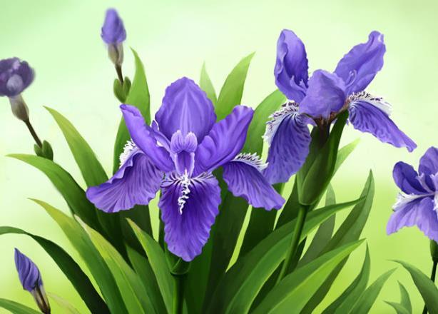 鸢尾花的花语是什么,鸢尾花代表什么?