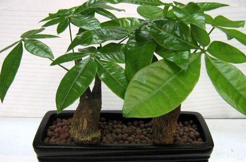 发财树的养殖方法及注意事项