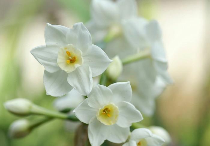 水仙花的花语是什么?