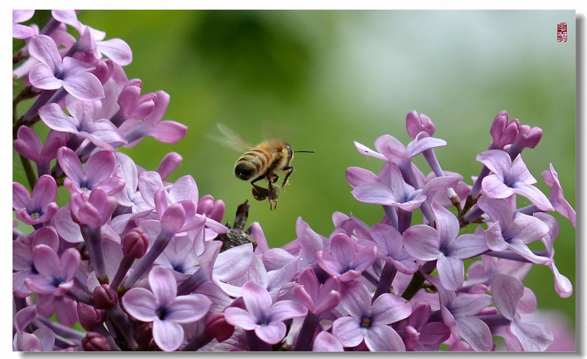 紫丁香花语是什么?