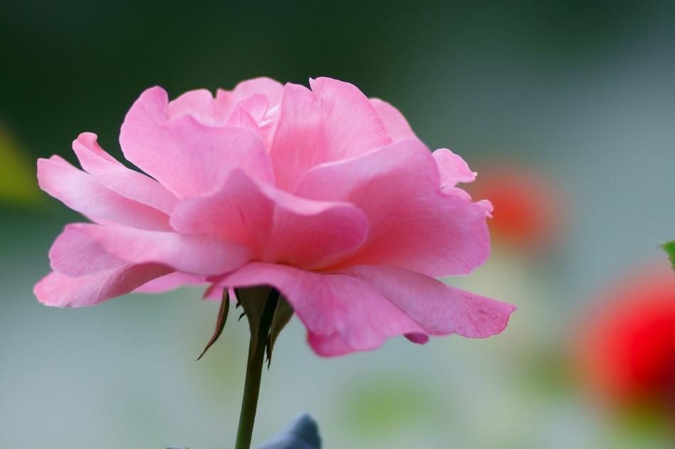 芍药的花语及传说