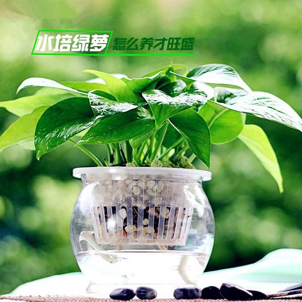 水培绿萝养殖办法,水培绿萝盆栽怎样养才干更繁盛?