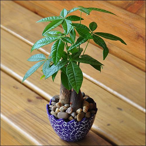 发达树的养殖办法和留意事变?怎样准确养殖发达树!