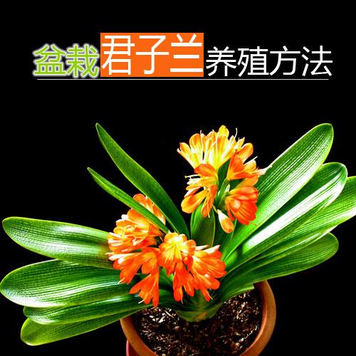 盆栽君子兰的养殖方法及注意事项
