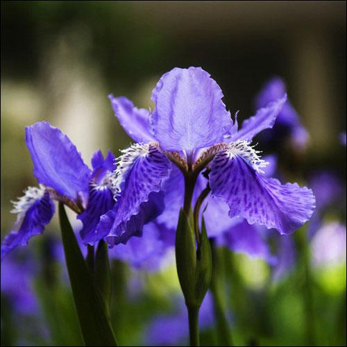 鸢尾花的花语和图片,鸢尾花适合送什么人?