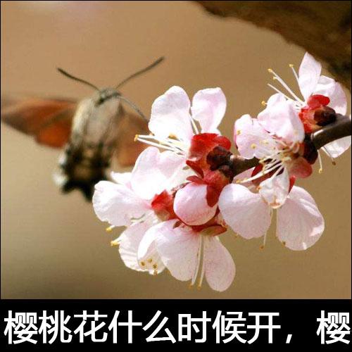 樱桃花什么时候开?樱桃花的花语是什么?