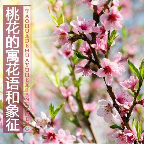桃花的花语和象征是什么?适合送什么人?