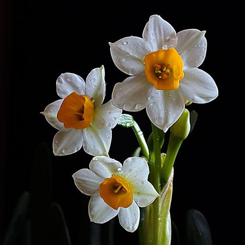 水仙花的花语和寓意是什么?适合送什么人?