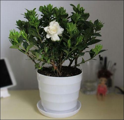 盆栽栀子花的养殖方法和注意事项!