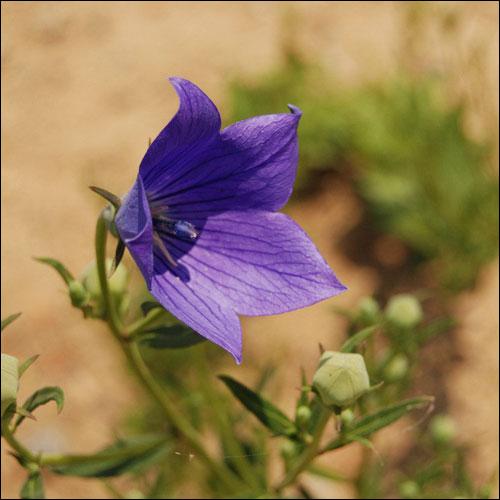 送桔梗花代表什么意思?桔梗花的花语是什么?