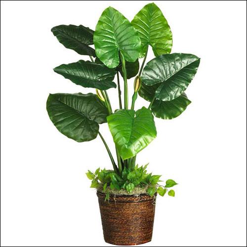 盆栽滴水观音的养殖方法,盆栽滴水观音图片!
