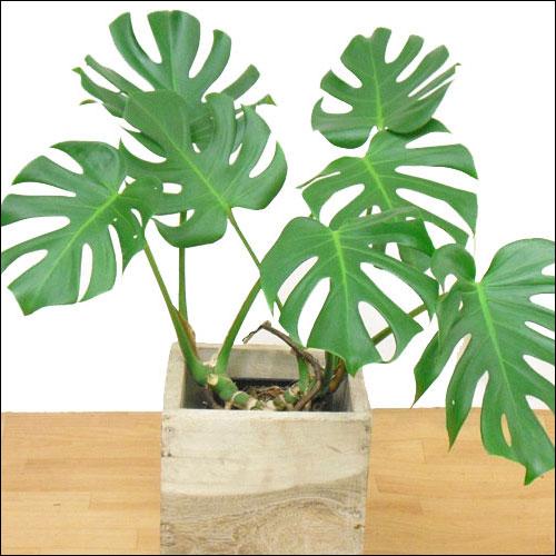 如何养好家庭盆栽龟背竹?