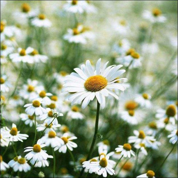 常见小菊花的种类名称及图片