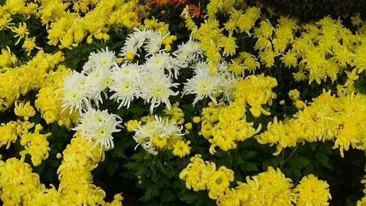 盘点重阳节适合送长辈的鲜花