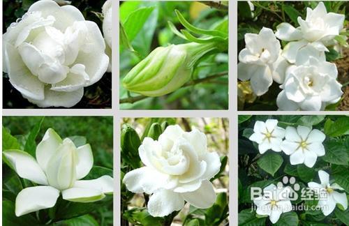 栀子花的寓意是什么,栀子花几月份开花呢?