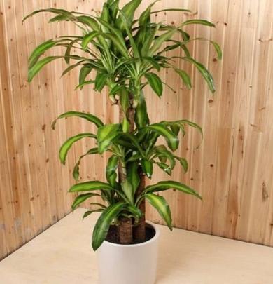 巴西木太高怎么办?巴西木一般有哪几种样式?