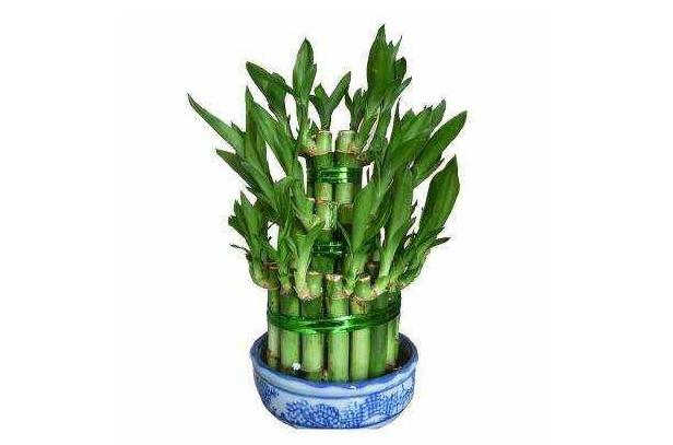 富贵竹水养的养植要领你知道吗?