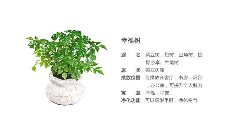 幸福树在养植中要注意什么?