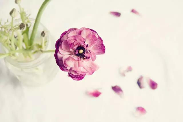花毛茛是什么?