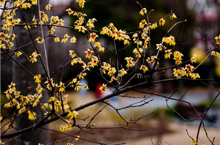 盆栽腊梅花养殖方法和注意事项