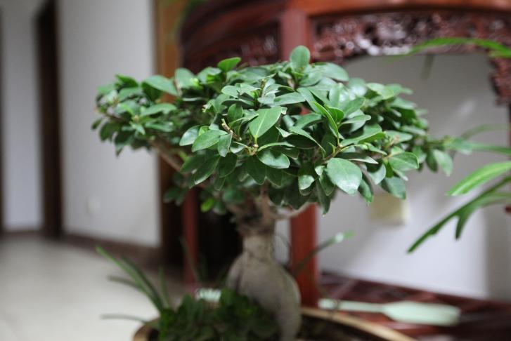 榕树的养殖方法,榕树的养殖注意事项