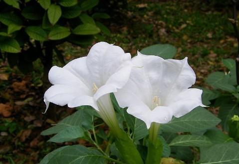 曼陀罗的花语是什么?