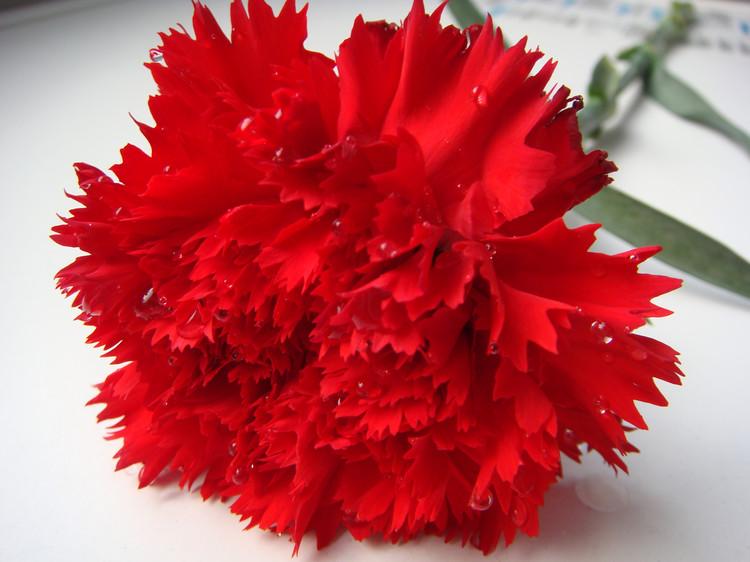 康乃馨花束怎么養,康乃馨花束養殖注意事項