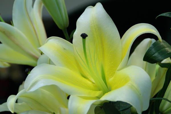 百合花的养殖方法,百合花的养殖注意事项