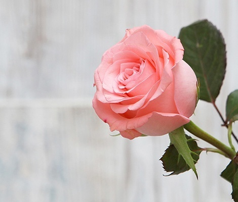 红玫瑰品种大全,玫瑰有多少个品种?