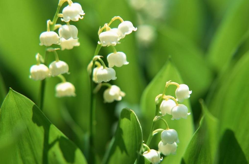 关于风铃草的花语和传说
