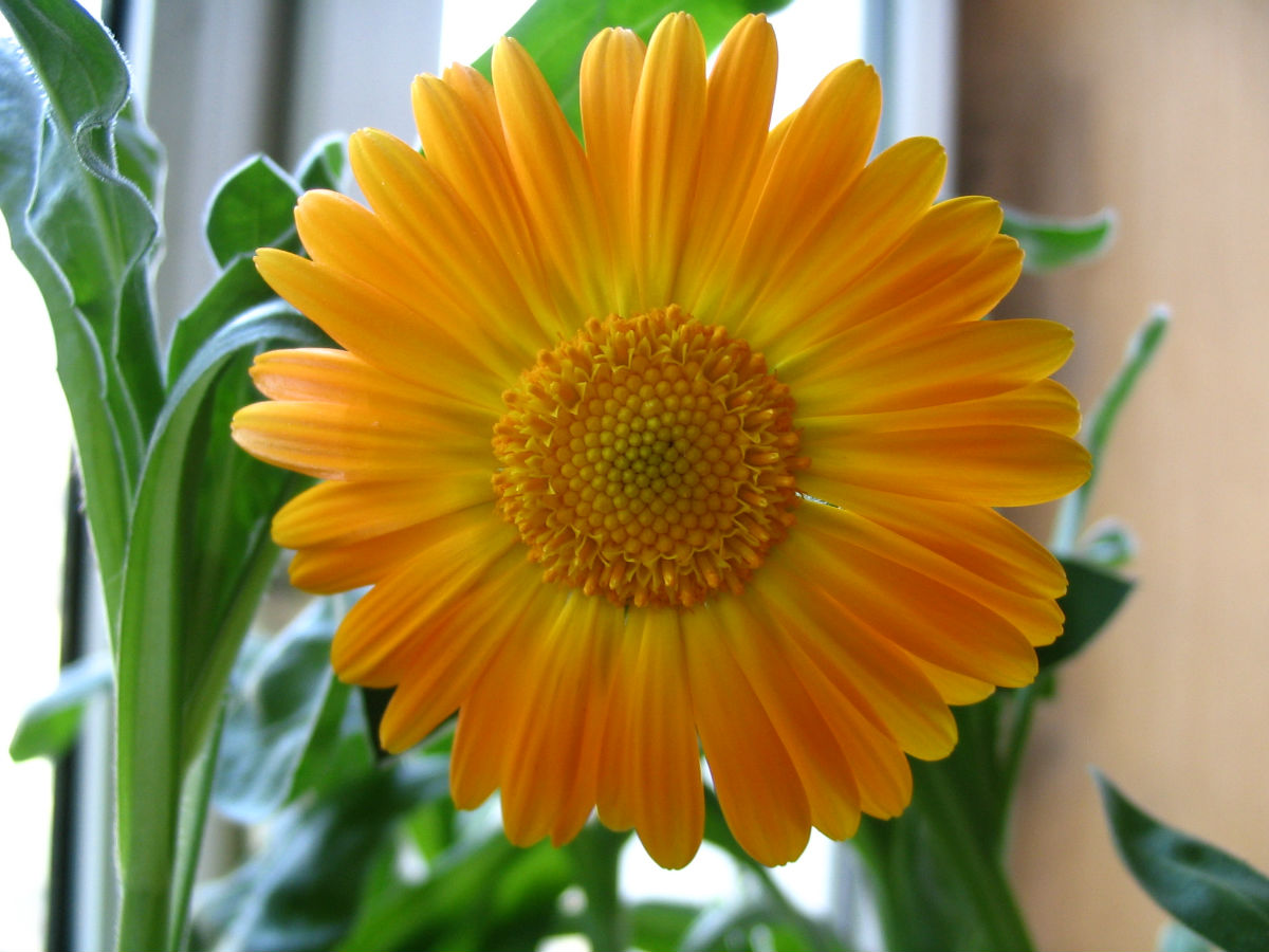 非洲菊的養殖方法和注意事項有哪些?