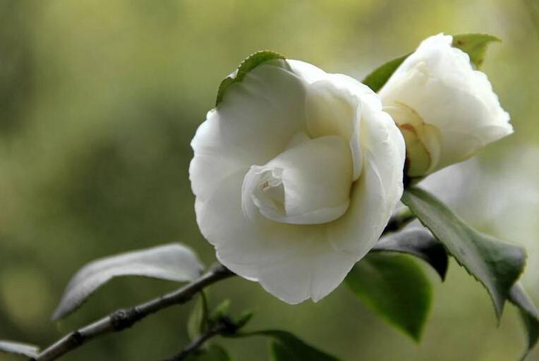 白茶花花语代表什么寓意