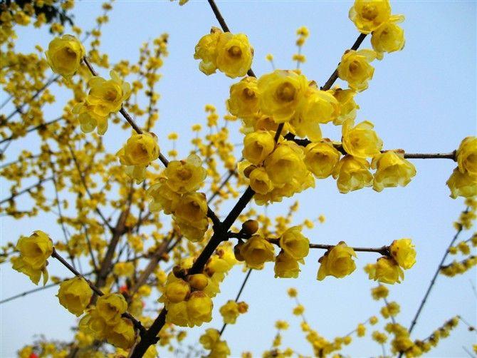 盆栽腊梅花怎么养,腊梅养殖方法和注意事项