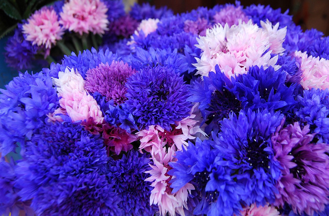 矢车菊是哪个国家的国花?