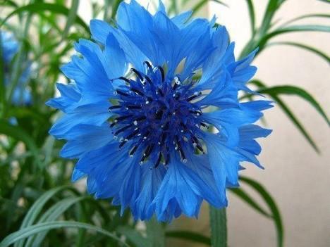 矢車菊是哪個國家的國花?