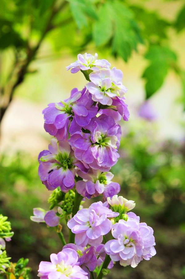紫罗兰图片大全,紫罗兰图片欣赏