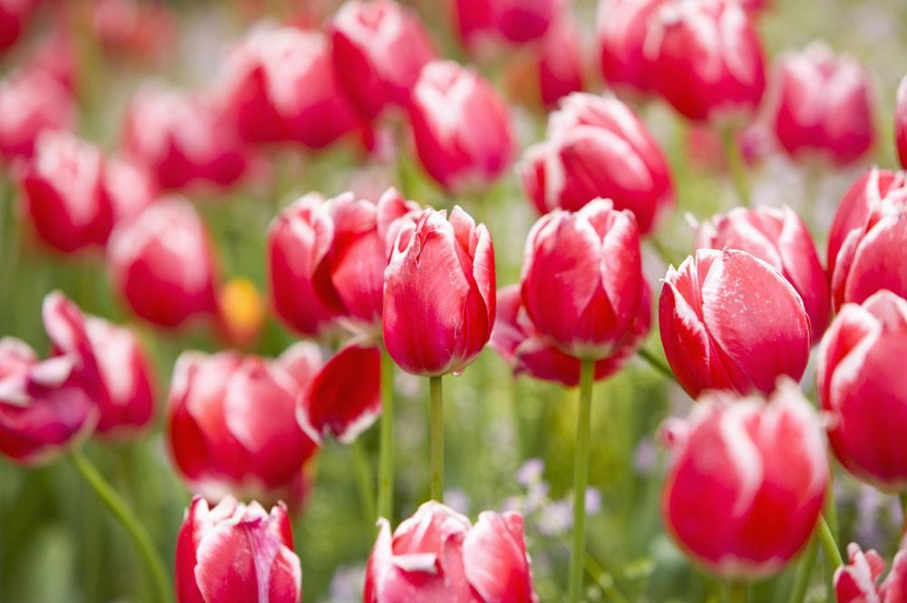 双色郁金香图片及花语