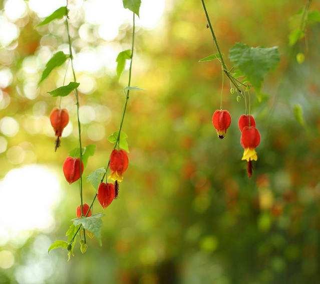 迎风摇曳的铃铛——风铃花的花语是什么