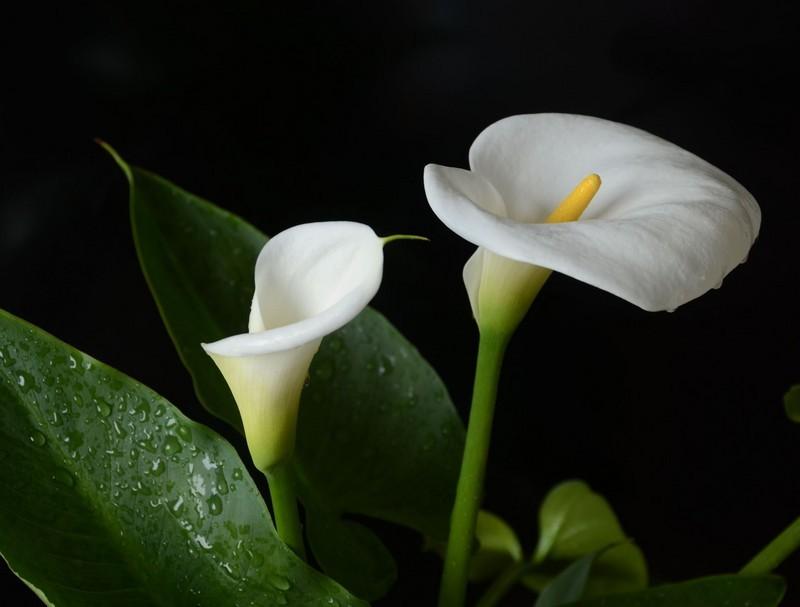白色马蹄莲的花语和寓意图片