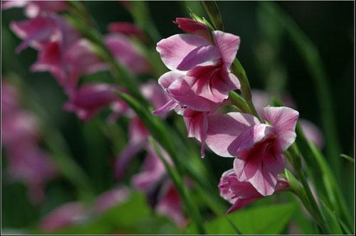 剑兰花语图片