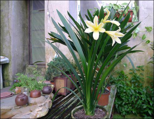 君子兰的品种及图片