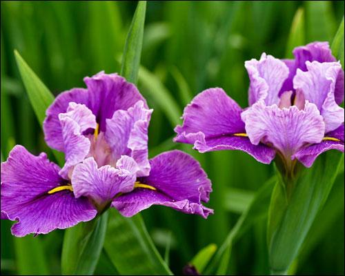 鸢尾花的花语和图片
