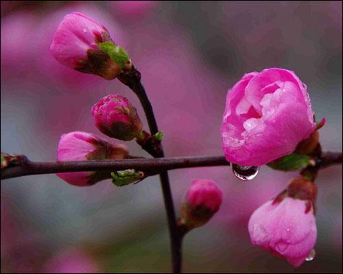 樱桃花什么时候开