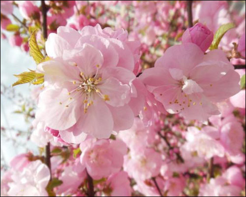 早春开的花有哪些