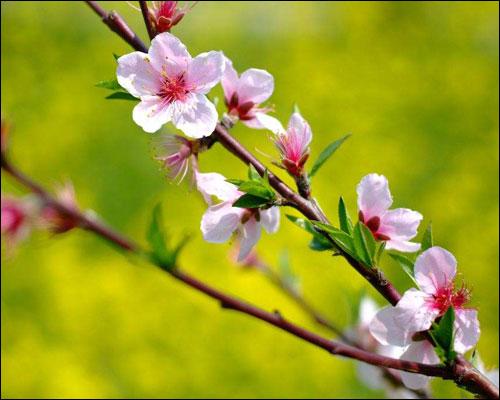 桃花的花语和象征
