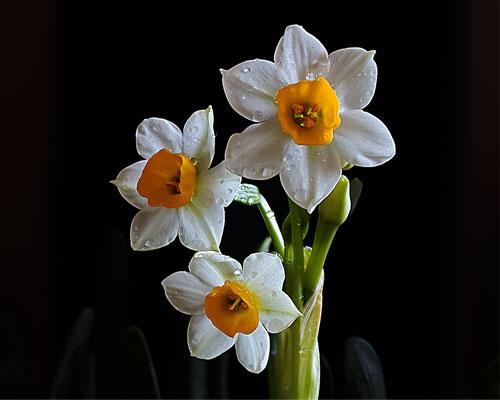 水仙花的花语和寓意