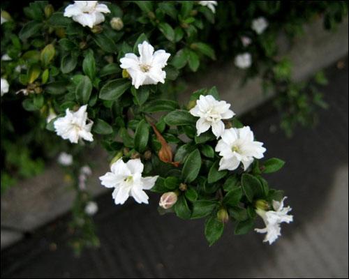 六月雪的花语